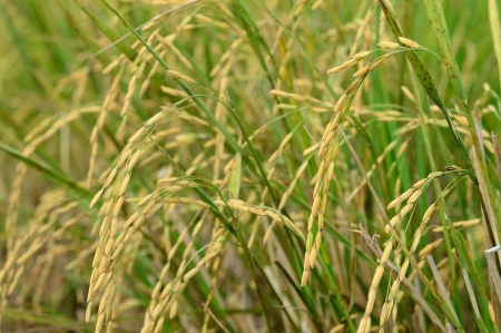 rice green field agricultural Stock Photo - 17329713