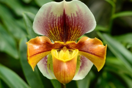 TROPICAL ORCHID CLOSE-UP, Paphiopedilum species