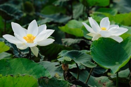 Twin white lotus floral lake garden
