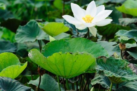White lotus flower on water garden Stock Photo