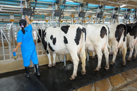 dairy cow: Modern cows farming, milk production industry Stock Photo