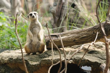 Meerkat inhabit portions of South Africa