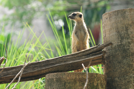 Meerkat be on guard from wide environmental