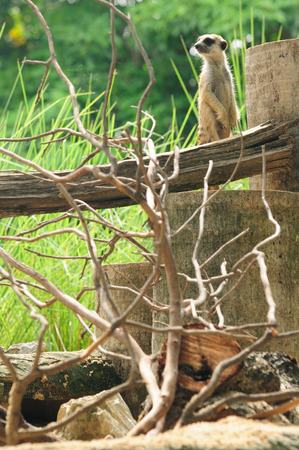 Meerkat beware safety surveillance, alertness danger environment Stock Photo