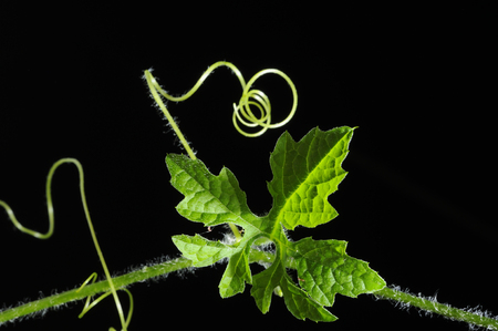 Vine leaf and growing curve close-up, isolated with black background Stock Photo