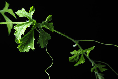 Leaves Vine with drop, isolated on black background
