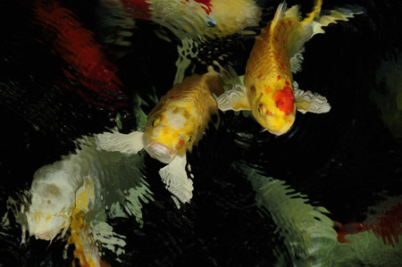 Koi carp Goldfish aquatic reptile