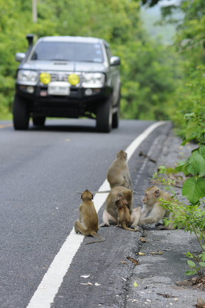 Risk monkey life at roadside, today change lifestly of wildlife. They waiting for some food Stock Photo