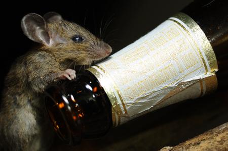 RAT use  foreleg to Beer bottle. Horizontal color image.