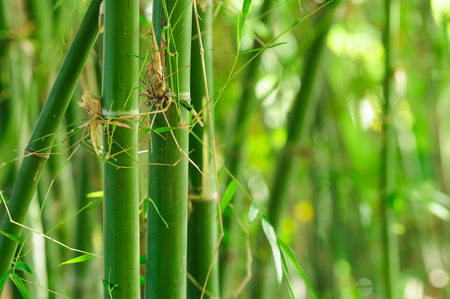 Green bamboo with forest background 写真素材