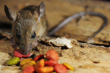 Rat pilfer eat feed on wood texture background
