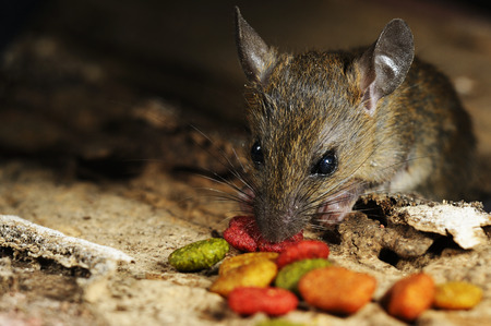 Rat eating feed on wood texture background Stock fotó