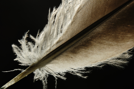 Close-up bird feather individual with comfortable scence