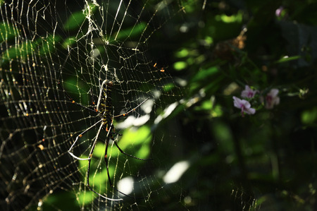 Closeup, big spider catch on cobweb in green tropical forest with ping flower. Spider composition on left side.