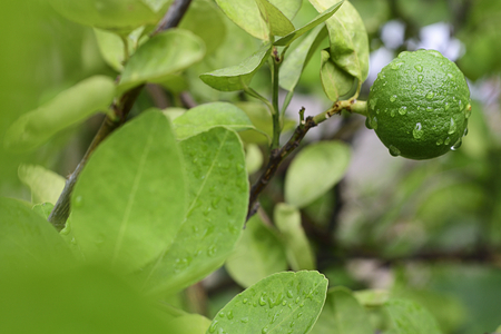 Green fresh lemon with water drop in organic garden near house. Horizontal color image.