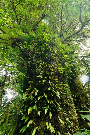 Old Forest, green tropical forest at Doi Inthanon National Park, vertical color and ant view image