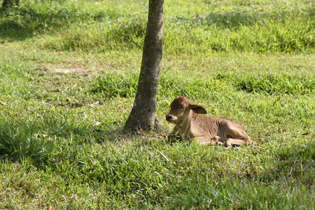 Close up, Calf in farm landscape relax on green grass under tree shade, After pasture grass in green field, outback rural.