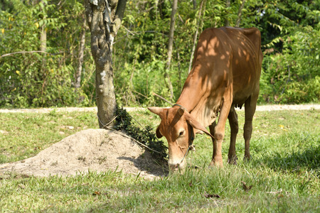 Cow is eating grass in green field farming landscape. Horizontal color image.