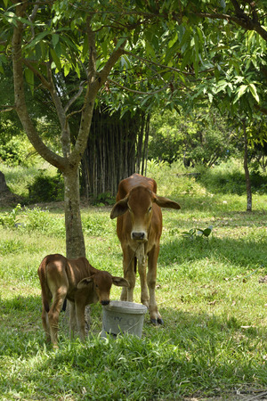 Cow and calf stand under tree shade on green grass at farm field agriculture. Horizontal color image.