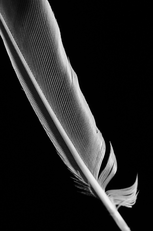 Black and white single feather. Vertical color Banque d'images - 108499712