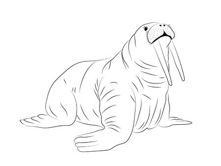 Hand drawn isolated walrus silhouette. Outlined for coloring book Ilustracja
