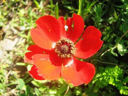 buttercup: Red buttercup Stock Photo