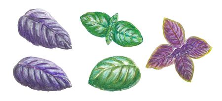 Watercolor illustration set of purple and green basil leaf with pencil texture on white background Standard-Bild