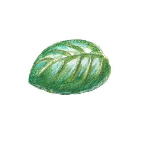 Watercolor illustration of basil leaf with pencil texture on white background