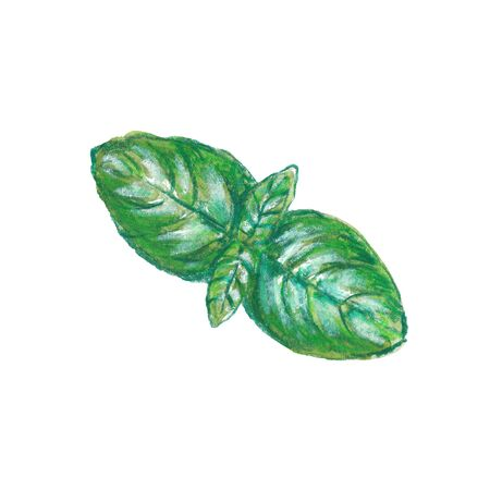 Watercolor illustration of basil leaves with pencil texture on white background