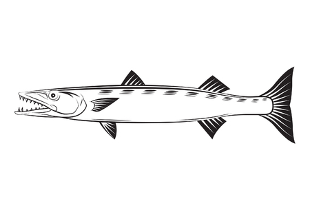 barracuda: Drawing Barracuda