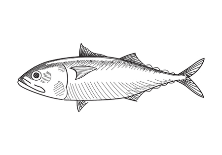 mackerel fish vector illustration