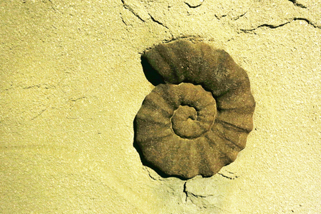 fossil: Fossil snail