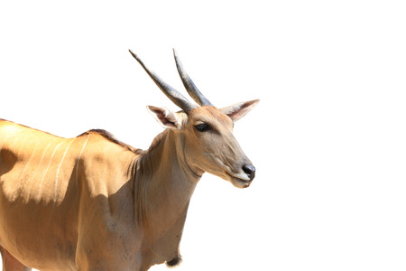 springbuck: Sand gazelle isolated