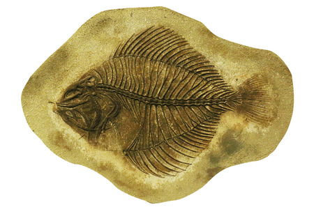 fossil: fossil fish isolated Stock Photo