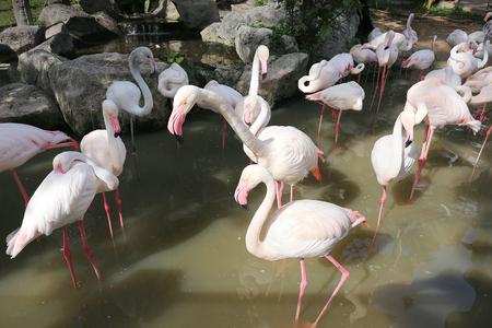 phoenicopterus: phoenicopterus ruber flamingo