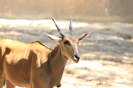 gazelle: Sand gazelle