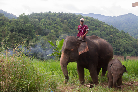 tusks: CHIANG MAI, THAILAND-SEPTEMBER 19 : An unidentified man shows playing with elephant family, chiang mai Thailand on september 19, 2012