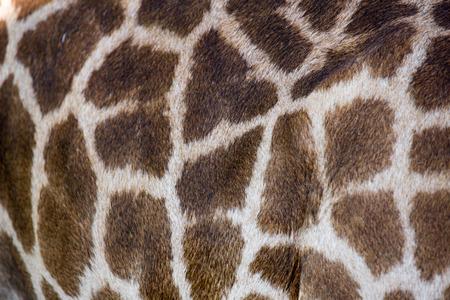 herbivore natural: beautiful Giraffe (Giraffa camelopardalis) skin for background use