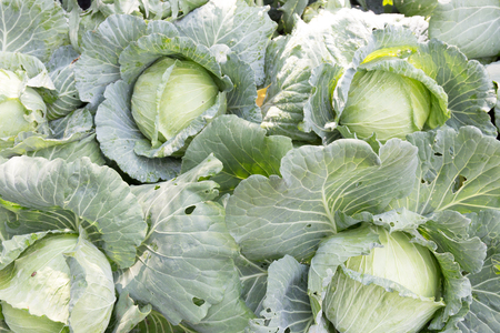 Organic Freshly harvested cabbage in farm