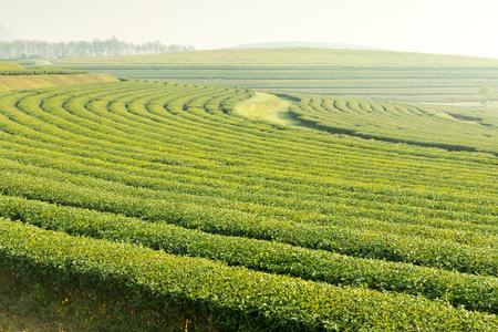 tea garden in the fog morning Stock Photo