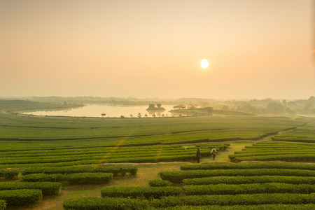 Sunrise view of tea plantation landscape
