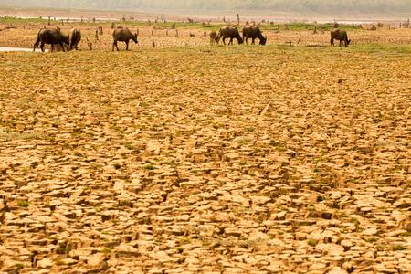 Stado krów spaceruje po rzece z powodu globalnego ocieplenia i efektu El Nino.