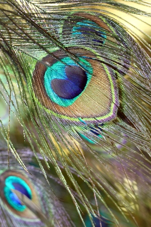 Peacock feathers.  photo