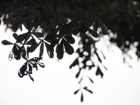san joaquin valley: Tree silhouette