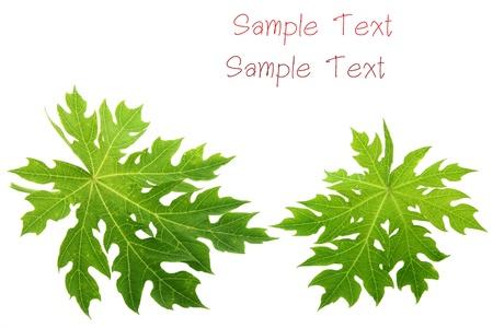 papaya leaf on white background  Stock Photo