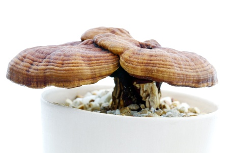 Ganoderma Lucidum  Stock Photo - 11765783