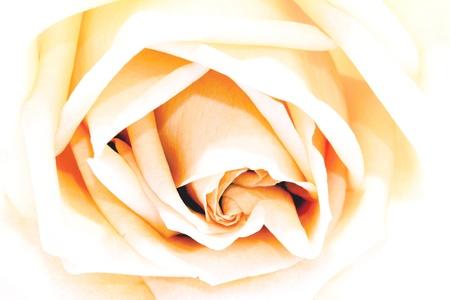 rosas naranjas: Orange rosas.