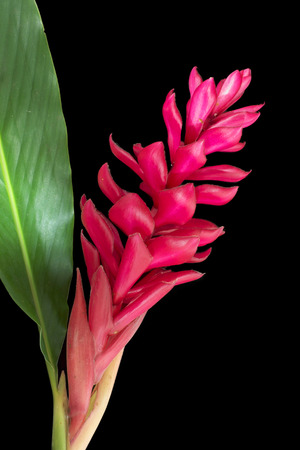 Torch Ginger red flower photo
