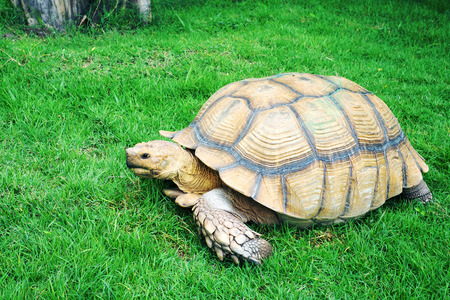 giant: Giant tortoise on grass Stock Photo