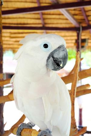guacamaya: Guacamayo blanco